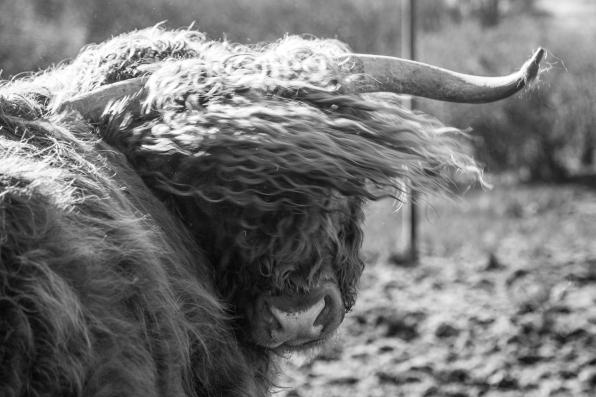 Highland cow-0995