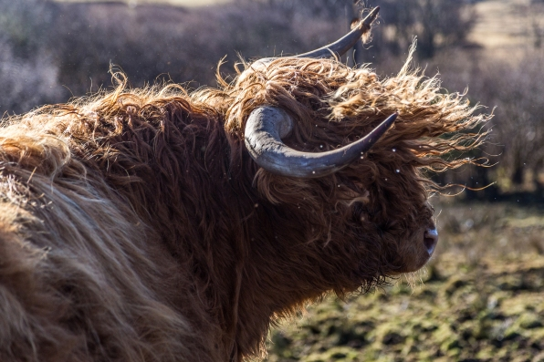 Highland cow-0999